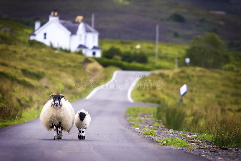 Sheep walking royalty free stock photo