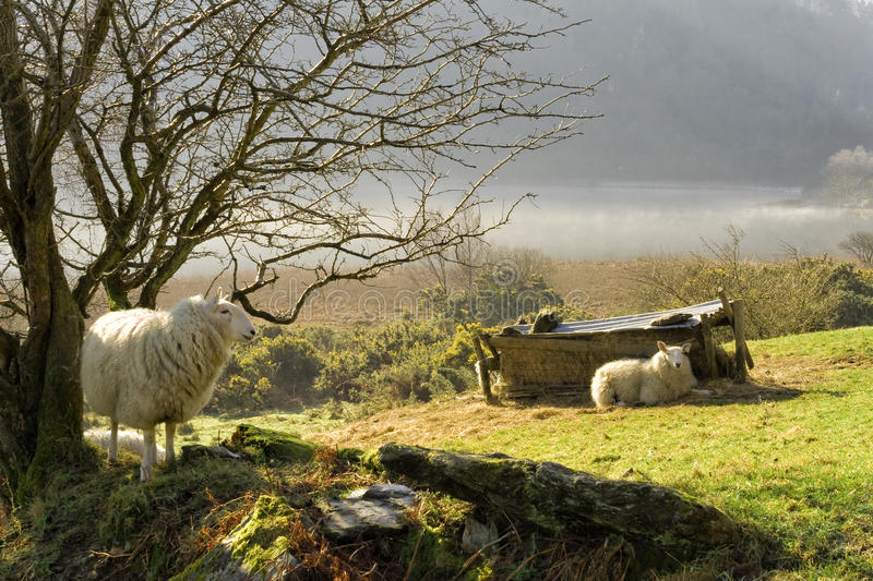 Download Sheep On Wall On A Misty Morning In Ireland Stock Photo - Image: 95830732