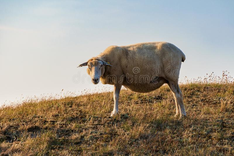 Sheep in warm evening light against blue sky. On the island Sylt, Germany - Sheep in warm evening light against blue sky royalty free stock image