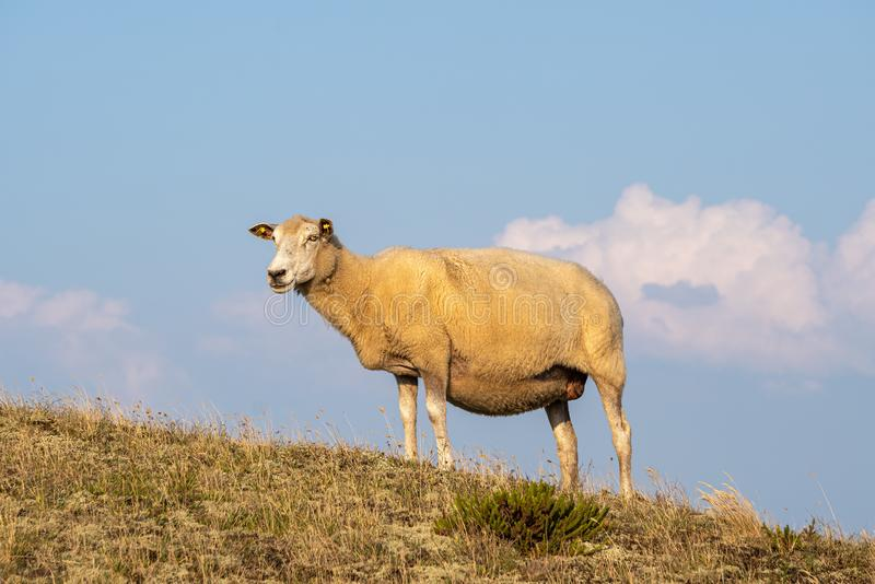 Sheep in warm evening light against blue sky. On the island Sylt, Germany - Sheep in warm evening light against blue sky stock photos