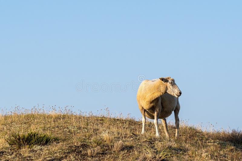 Sheep in warm evening light against blue sky. On the island Sylt, Germany - Sheep in warm evening light against blue sky stock photography