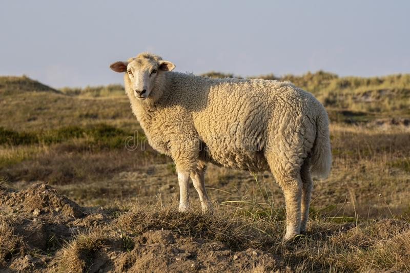 Sheep in warm evening light. On the island Sylt, Germany royalty free stock photos