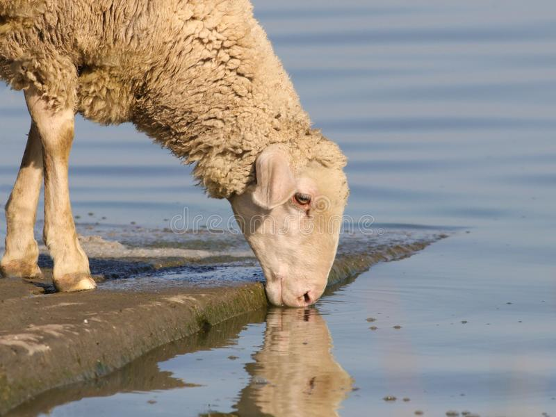 Sheep on the watering place drinking water stock image