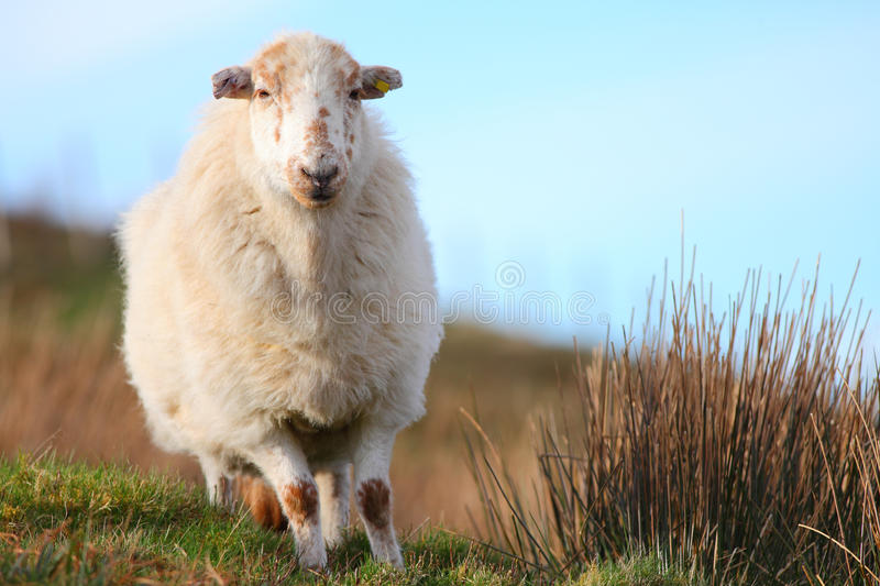 Download Sheep stock photo. Image of farm, wales, coat, adult - 39502486