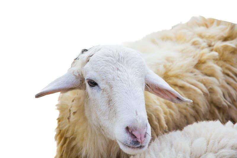 Sheep on white background stock photos