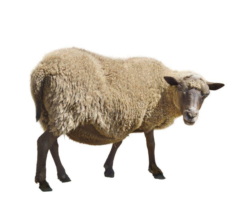 Sheep On White Background royalty free stock photo
