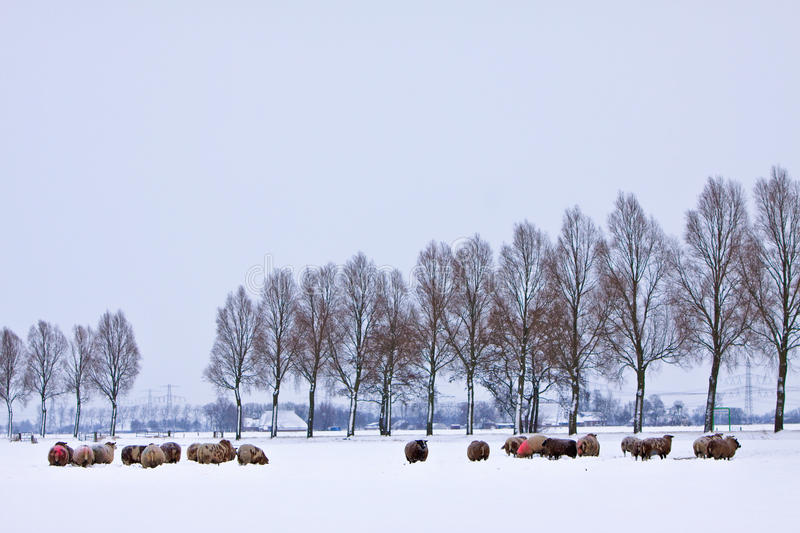 Download Sheep In A White Winter Landscape Stock Photo - Image: 12310686