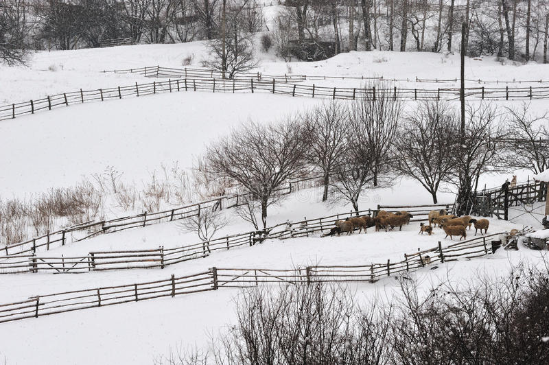 Download Sheep in winter stock image. Image of lamb, snowy, farming - 14871095