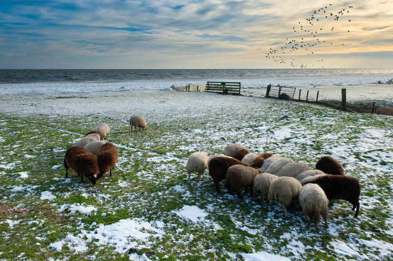 Sheep In Winter Royalty Free Stock Photos
