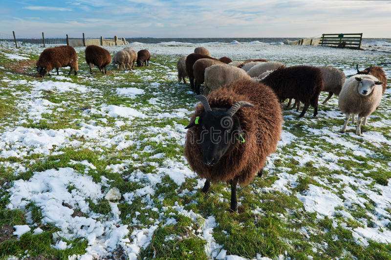 Download Sheep in winter stock photo. Image of field, markermeer - 17261858