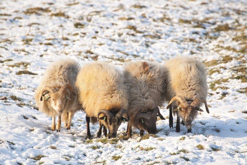Sheep during wintertime stock image