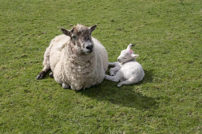 Sheep and young lamb in field. Ewe with young lamb in field lying down stock photography