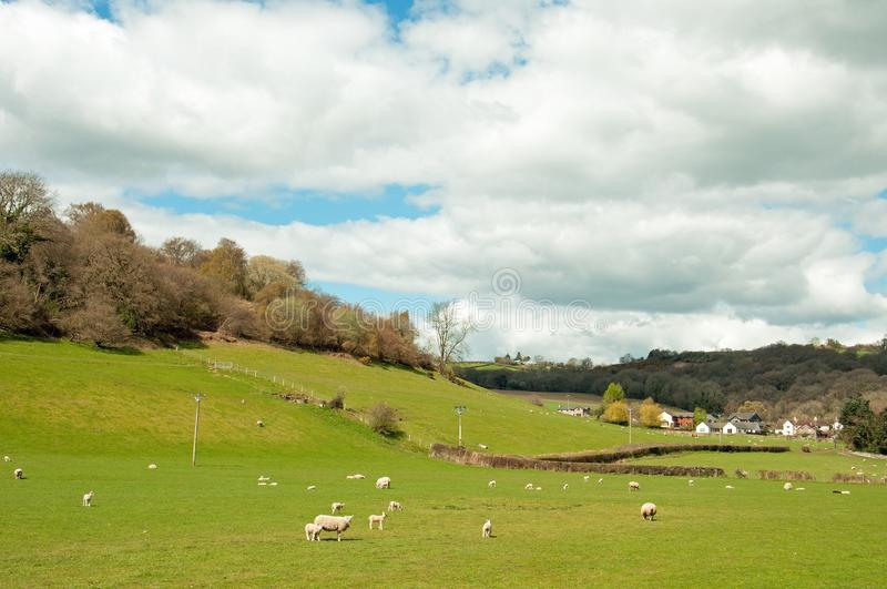 Sheep and young lambs in a springtime field in the English countryside. A ewe and young lambs in a springtime field in the countryside of the United Kingdom royalty free stock photography