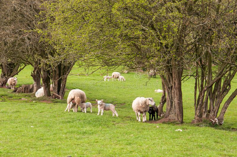 Sheep and young lambs in a springtime meadow in the English countryside. A ewe and young lambs in a meadow in the countryside of the United Kingdom royalty free stock image