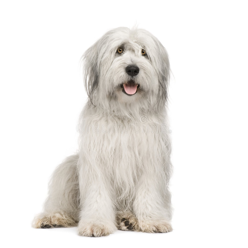 Sheepdog (15 moths) royalty free stock image