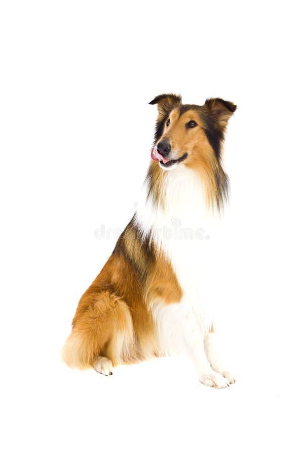 Sheepdog fotos de stock