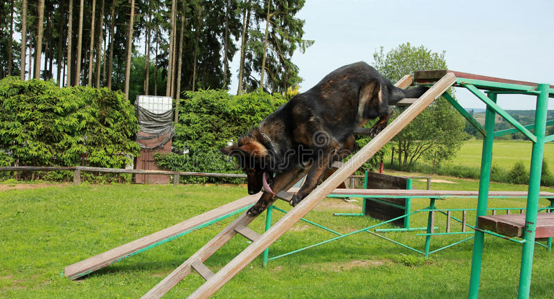 Sheepdog imagens de stock royalty free