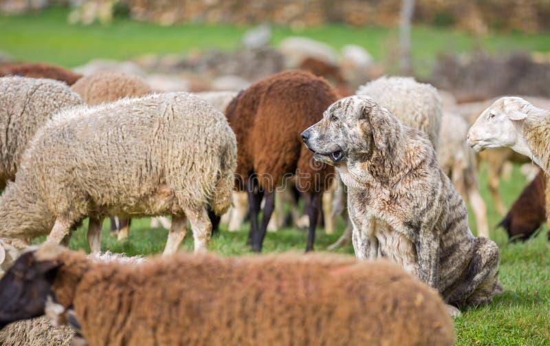 Sheepdog zdjęcie royalty free
