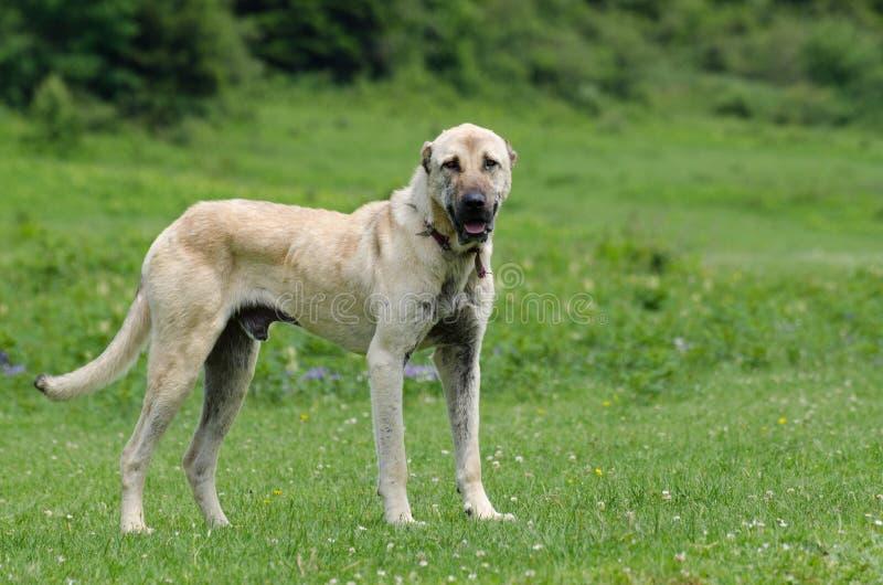 sheepdog imagem de stock royalty free