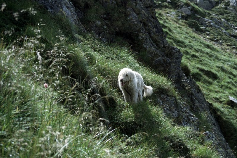Sheepdog fotografia de stock royalty free