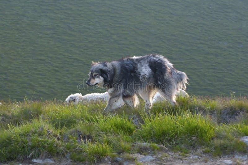 sheepdog fotografie stock libere da diritti