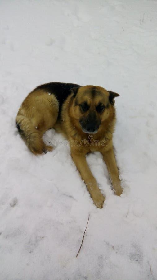 sheepdog fotografia stock libera da diritti