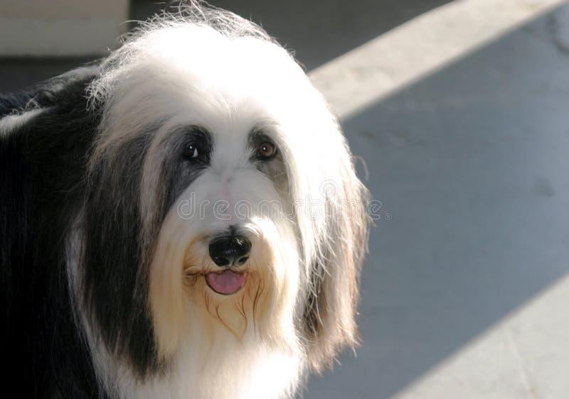 Download Sheepdog acanhado imagem de stock. Imagem de competição - 64079