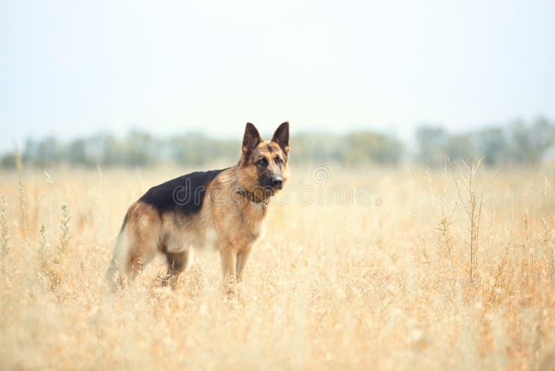 Sheepdog alemão fotos de stock royalty free