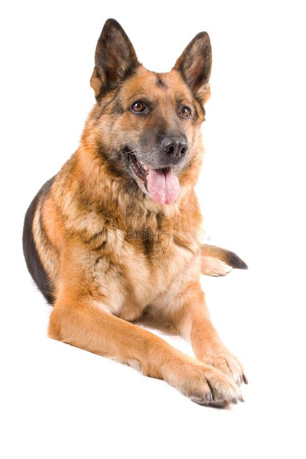 Sheepdog alemão isolado sobre o fundo branco fotografia de stock