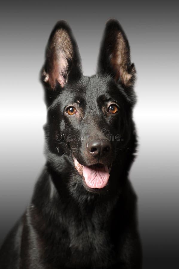 Sheepdog alemão preto fotografia de stock