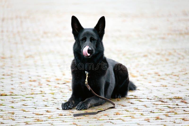 Sheepdog alemão preto que lambe seu muzze fotografia de stock