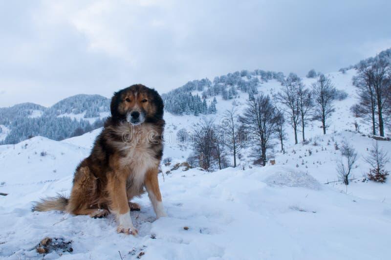Sheepdog, cão de pastor no inverno fotografia de stock royalty free