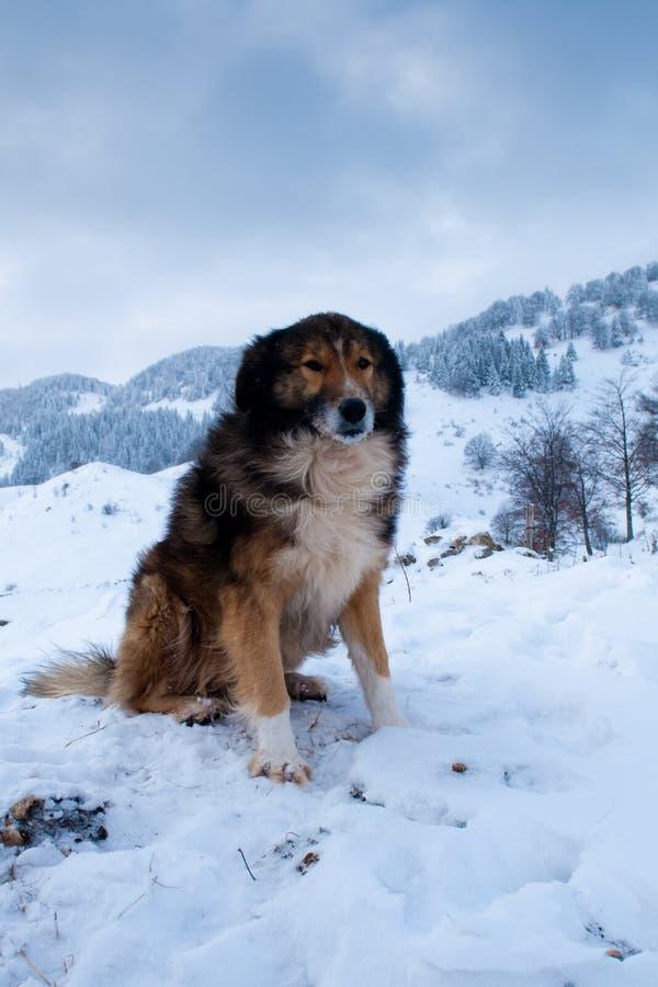 Sheepdog, cão de pastor no inverno foto de stock royalty free