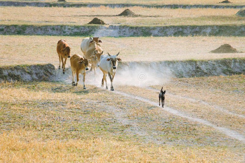 Download Sheepdog With Cows Going Home In The Dust At The End Of Day Stock Image - Image: 33903793