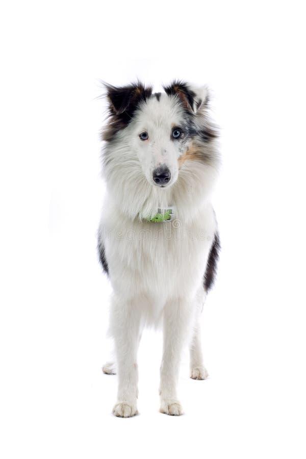 Sheepdog de Shetland fotos de stock