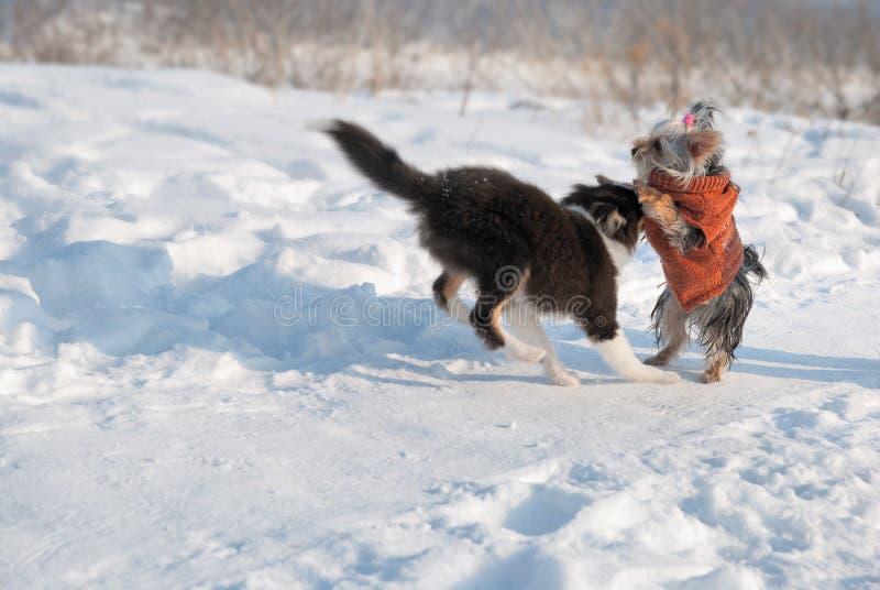 Sheepdog de Shetland do filhote de cachorro na neve fotos de stock