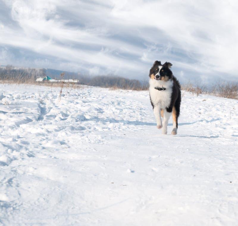 Sheepdog de Shetland do filhote de cachorro na neve foto de stock royalty free