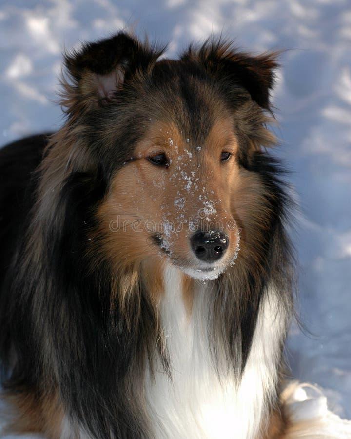Sheepdog de Shetland no inverno fotos de stock royalty free