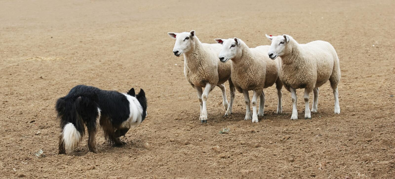 Sheepdog e os carneiros foto de stock royalty free