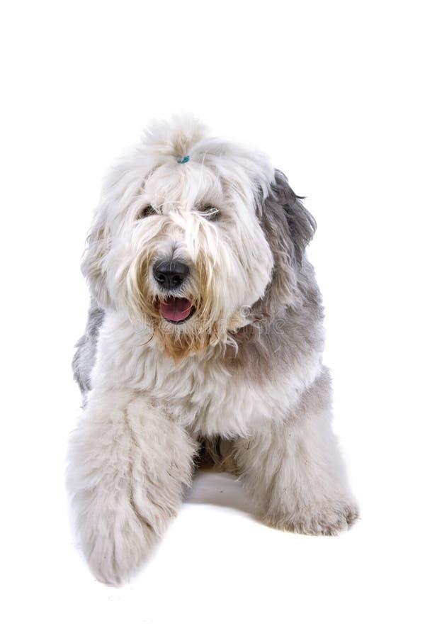 Sheepdog inglês velho foto de stock royalty free