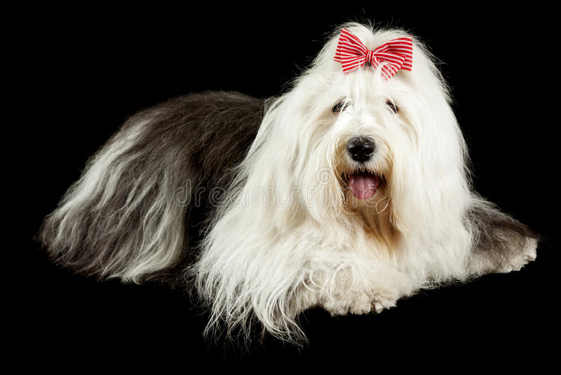 Sheepdog inglês velho foto de stock