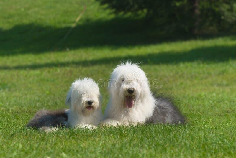 Sheepdog inglês velho fotografia de stock royalty free