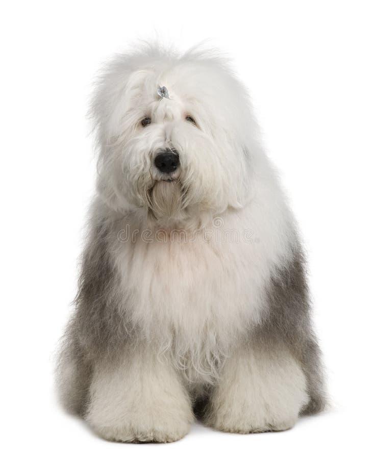 Sheepdog inglês velho, o 1 anos de idade, sentando-se fotos de stock royalty free