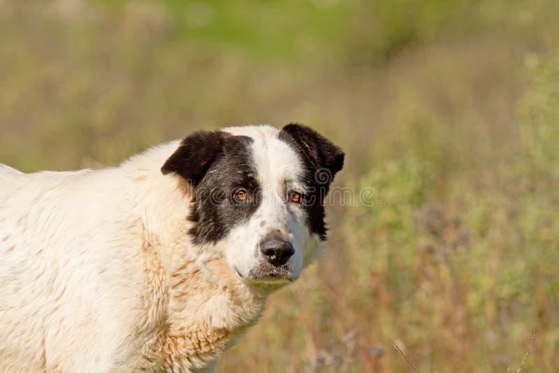 Sheepdog Looking Stock Image