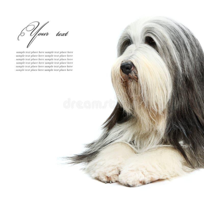 Sheepdog na frente de um branco fotos de stock