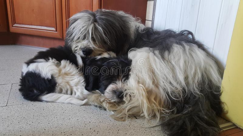 Sheepdog polonês da planície imagens de stock royalty free
