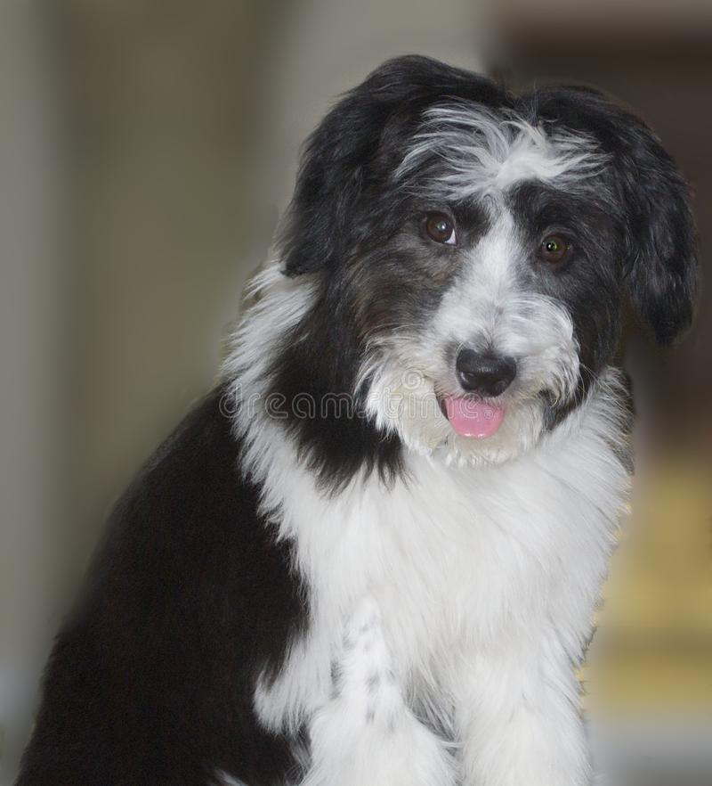Sheepdog polonês da planície fotografia de stock