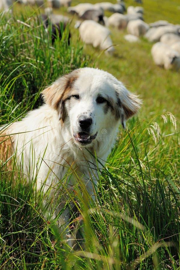 Sheepdog and sheep stock photo