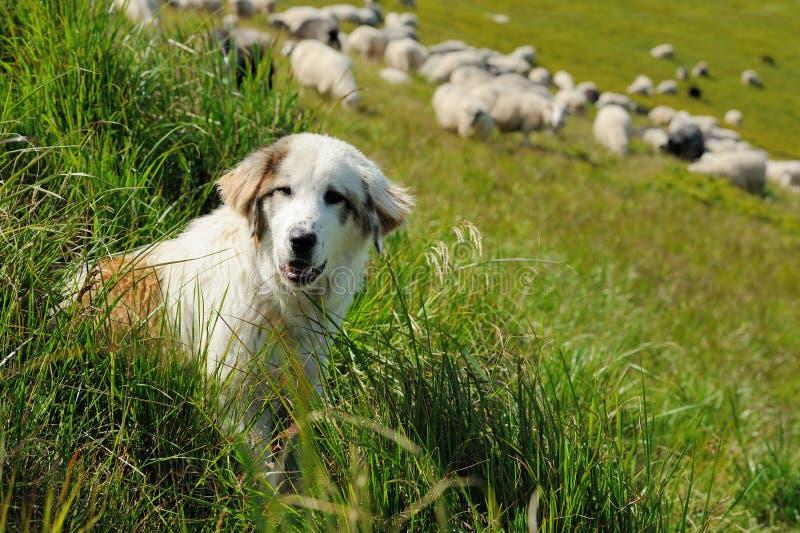 Sheepdog and sheep royalty free stock image