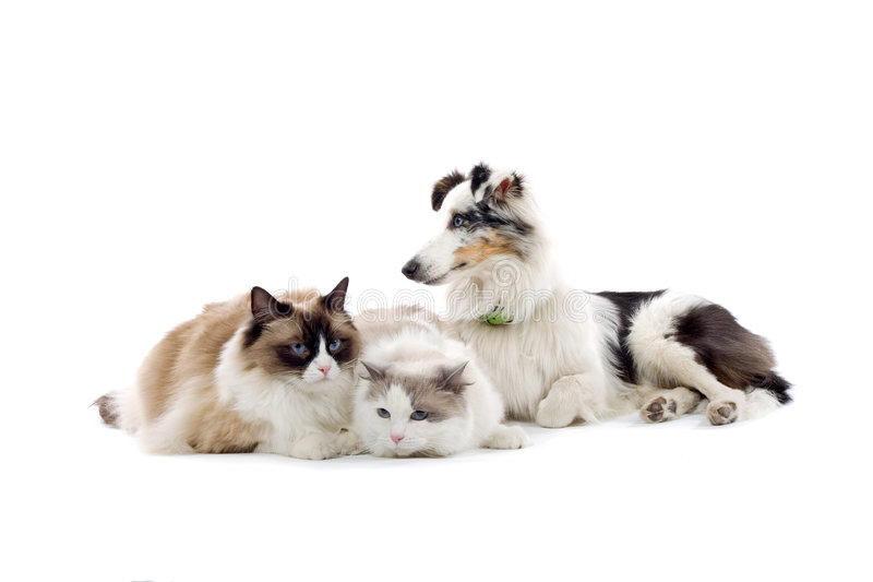 Sheepdog and two cats royalty free stock photography